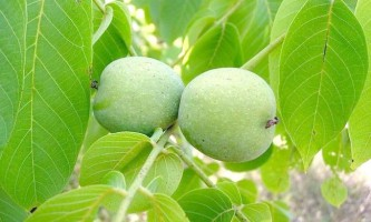 Листя волоського горіха лікувальні властивості і застосування
