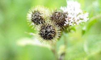 Реп`яхову диво: користь масок і сироваток з маслом кореня лопуха для догляду за волоссям